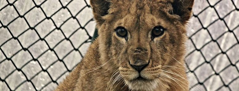 Born Free launches appeal to re-home King the lion cub to South African sanctuary